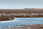 Snow Geese, Chen caerulescens, Forsythe NWR, New Jersey