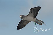 A Blue-footed booby searches for food as it flies over the ocean near the Galapagos isalnds, Ecuador.