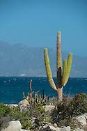 Mexico, Baja California sur, Baja, La Ventana, Sea of Cortez, cardon cactus, Pachycereus pringlei