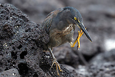 Lava Heron (Butorides striata sundevalli)