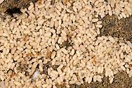 Red Ant - Myrmica rubra