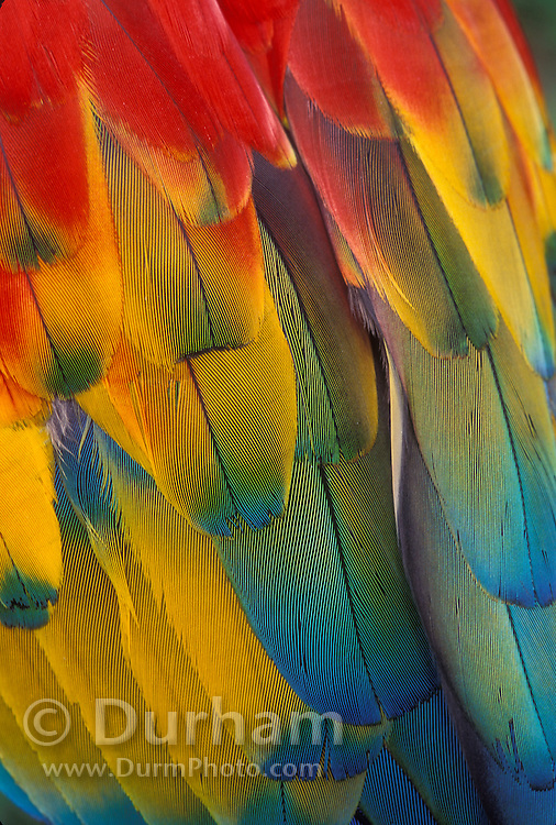 Detail of Scarlet Macaw (Ara macao) feather color. Native from South Mexico to Amazonia (Brazil).