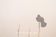 01603-02613 Red-winged Blackbird (Agelaius phoeniceus) male singing/displaying in fog near wetland Prairie Ridge State Natural Area Jasper Co. IL