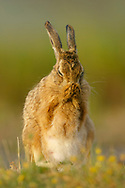 European Hare (Lepus europaeus) adult cleaning its face, South Norfolk, UK. June.