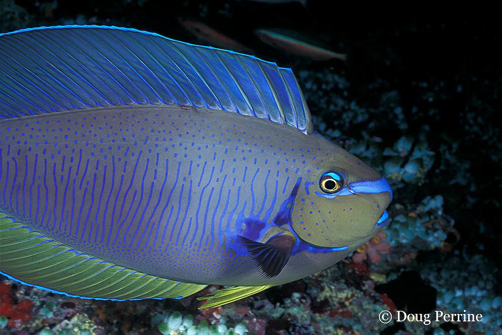 bignose unicornfish, Naso Vlamingii, sleeping on reef at night showing night colors (greenish with bright blue markings) Maaya Thila, Maldives ( Indian Ocean )