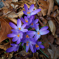 Early Purple Crocuses -- Spring is Coming. Image taken with a Nikon 1 V1 and 10 mm lens (ISO 100,  10mm, f/3.2, 1/160 sec).