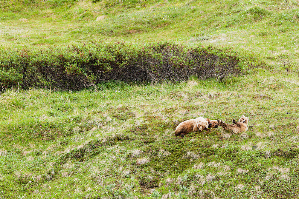 Sow Grizzly Bear (Ursos arctos) and cubs resting after foraging on Sable Pass in Denali National Park in Southcentral Alaska. Summer. Afternoon.