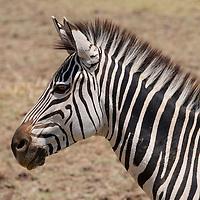 South Luangwa National Park, Zambia.