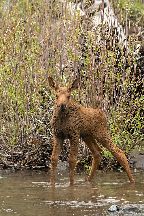 Weighing almost 30 pounds at birth, moose calves grow quickly on a diet of rich mother's milk. Calves gain a pound a day during their first weeks of life and within six months they can weigh a few hundred pounds.