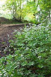 Sweet Woodruff in a woodland. Galium odoratum