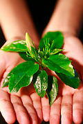 a bud of Hibiscus with a very big beautiful green leaves on the hand of the girl,showing Life in Hand.