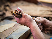 30 APRIL 2015 - TAMPA, FLORIDA, USA: The hands of a cigar roller at work in Tabanero Cigars, a cigar factory and coffee house in the Ybor City section of Tampa, FL. Tabanero Cigars handrolls cigars in the traditional Cuban style. Most of the rollers at Tabanero have immigrated to the US from Cuba. Ybor is a historically Cuban immigrant community that has been redeveloped and gentrified into a popular tourist destination lined with cigar factories, boutiques and cafes.     PHOTO BY JACK KURTZ