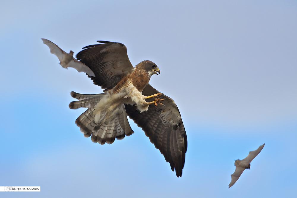 Swainson's Hawk in flight hunting bats