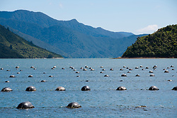 New Zealand, South Island, Green Mussel Cruise out of Havelock, Marlborough, on ship Odyssea to see mussel farming and scenery in Kenepuru Sound. Photo copyright Lee Foster. Photo #126229