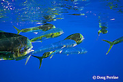 dorado, mahi-mahi, mahimahi, mahi mahi, or dolphin fish, Coryphaena hippurus, swimming offshore of Kaiwi Point, Kona, Hawaii Island ( the Big Island ), U.S.A. ( Central Pacific Ocean )