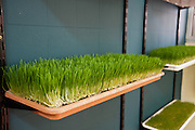 Wheat Germ Sprouting on an organic farm