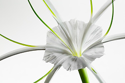 Hymenocallis-Beach Spider Lily#9