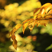 &quot;Beech Leaves of Gold&quot;<br />