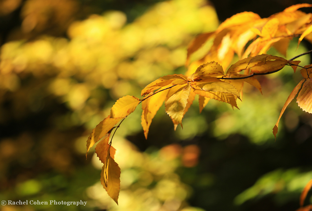 &quot;Beech Leaves of Gold&quot;<br /> <br /> Beautiful fall foliage! Lovely sunlight on Beech leaves in autumn!<br /> <br /> Fall Foliage by Rachel Cohen