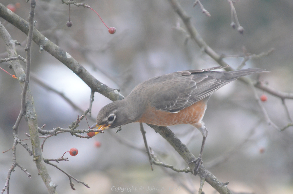 On the branch outside my window, the robin has decided on which berry to eat.  Hillsborough, NJ