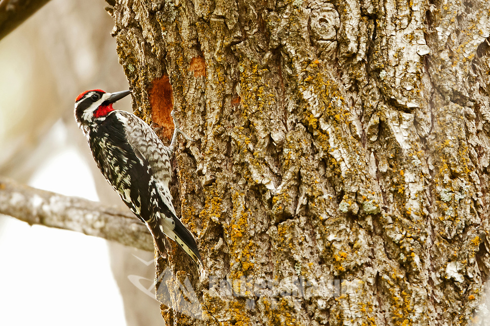 A male Red Naped Sapsucker has started on building a nesting cavity in a large old cottonwood tree.