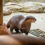 Otter - Point Defiance Zoo - Tacoma, AZ