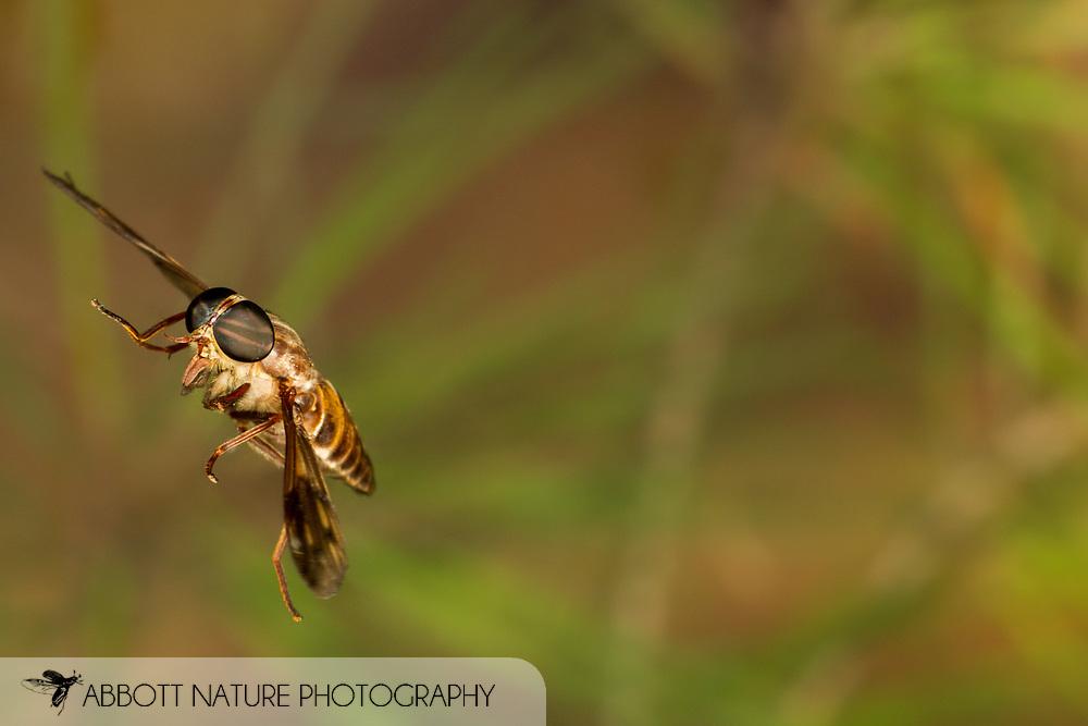 Horse Fly (Tabanus petiolatus)<br /> ALABAMA: Tuscaloosa Co.<br /> Tulip Tree Springs off Echola Rd.; Elrod<br /> 11-June-2016<br /> J.C. Abbott #2830 &amp; K.K. Abbott