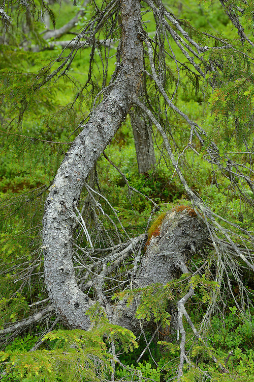 Spruce tree, Picea abies,near the Årrenjarka lodge near Kvikkjokk and the Laponia UNESCO World Heritage Site, Greater Laponia rewilding area, Lapland, Norrbotten, Sweden