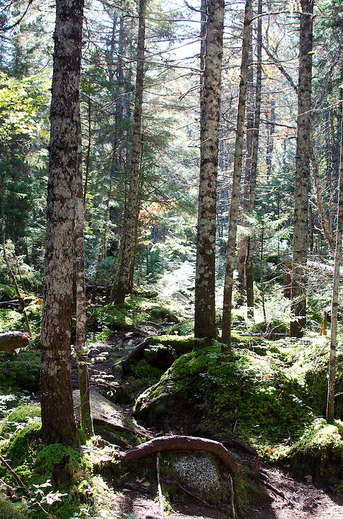 Sunbeams light up a hiking path through dense woods in Baxter State Park, Maine.
