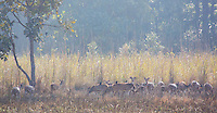 A herd of grazing Spotted Deer (Axis axis), also known as Chital, in Bardia National Park, Nepal
