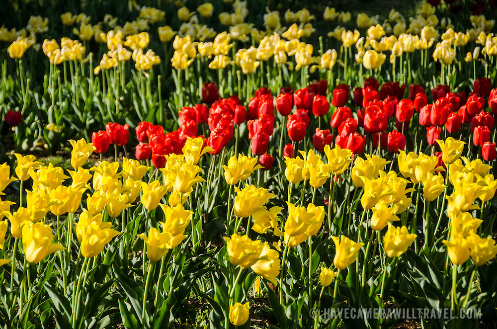 A cluster of yellow and red tulips in the spring near the Netherlands Carillon in Arlington, Virginia.