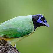 A green jay sits perched in the brush country of south Texas near Corpus Christi.
