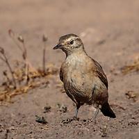 Geositta rufipennis, Chile February 2019