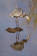 Blue Heron.<br /> -Savannah, GA U.S.A