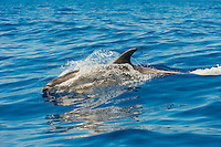 Bottlenose dolphin (Tursiops truncatus) in Canary Islands. Spain