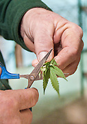 A farmer trims medicianl marijuana plants for cloning.