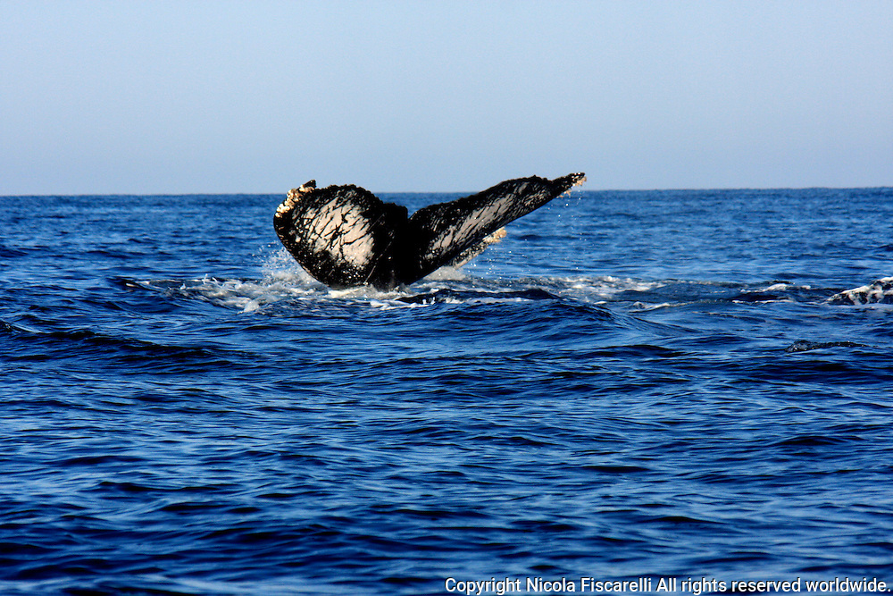 Every winter Humpback whales migrate to the Bay of Banderas Mexico to give birth to their calves and gain extra  blubber and strength , before migrating north to feeding grounds.