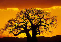 Africa, Tanzania, Tarangire National Park, Baobob tree (Adansonia digitata) silhouette at sunset