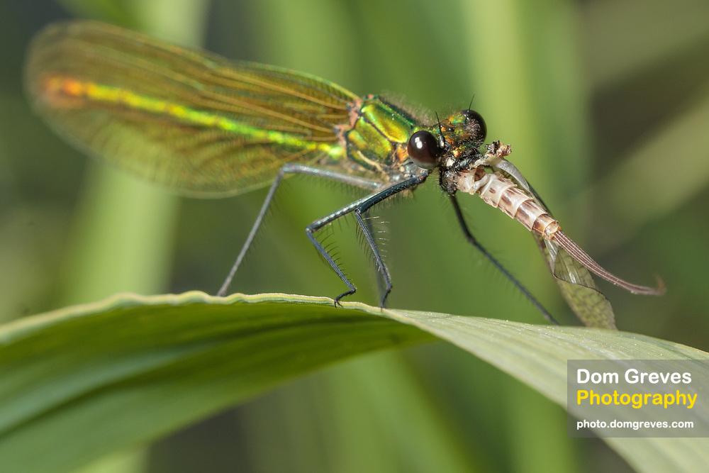 Demoiselle (Calopteryx sp.) eating mayfly (Ephemera sp.)