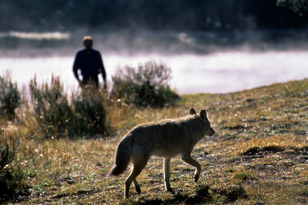 Close encounter between tourist and a wild coyote in the Hayden Valley, Yellowstone National Park, WYOMING
