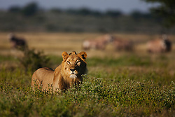 An adolescent male lion (Panthera leo) standing in tall grass during the wet season in the Kalahari Desert with a herd of gemsbok behind, Central Kalahari Game Reserve, Botswana, Africa