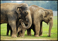 SEPT 18 2014 2 Day Old Baby Elephant