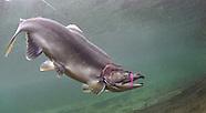 Pink Salmon, Underwater