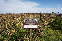 GUAGNANO, ITALY - 10 NOVEMBER 2016: The vineyars of Leonardo di Prato of the wine house Feudi di San Guaganano, where the Negramaro wine is produced, is seen here in Guagnano near Lecce, Italy, on November 10th 2016.<br /> <br /> Here a group of ten high-security female inmates and aspiring sommeliers , some of which are married to mafia mobsters or have been convicted for criminal association (crimes carrying up to to decades of jail time), are taking a course of eight lessons to learn how to taste, choose and serve local wines.<br /> <br /> The classes are part of a wide-ranging educational program to teach inmates new professional skills, as well as help them develop a bond with the region they live in.<br /> <br /> Since the 1970s, Italian norms have been providing for reeducation and a personalized approach to detention. However, the lack of funds to rehabilitate inmates, alongside the chronic overcrowding of Italian prisons, have created a reality of thousands of incarcerated men and women with little to do all day long. Especially those with a serious criminal record, experts said, need dedicated therapy and professionals who can help them.
