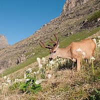 mule deer buck velvet in alpine bear grass, montana