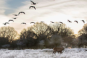 UNITED KINGDOM, London: 18 January 2017 Geese fly over a stag and a frosty Richmond Park during sunrise this morning. Temperatures dropped to -4C in certain parts of the capital last night causing wide spread frost. Rick Findler / Story Picture Agency