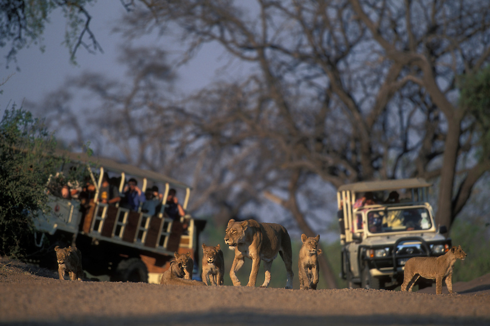 Botswana, Chobe National Park, Lion pride (Panthera leo) walks in front of safari trucks at dawn along Chobe River