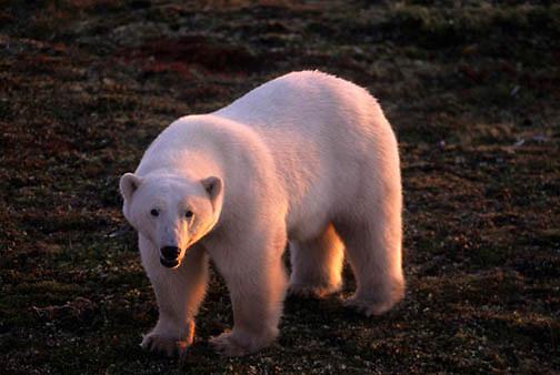 Polar Bear, (Ursus maritimus) Early morning. Hudson Bay in late fall. Churchill, Manitoba. Canada.