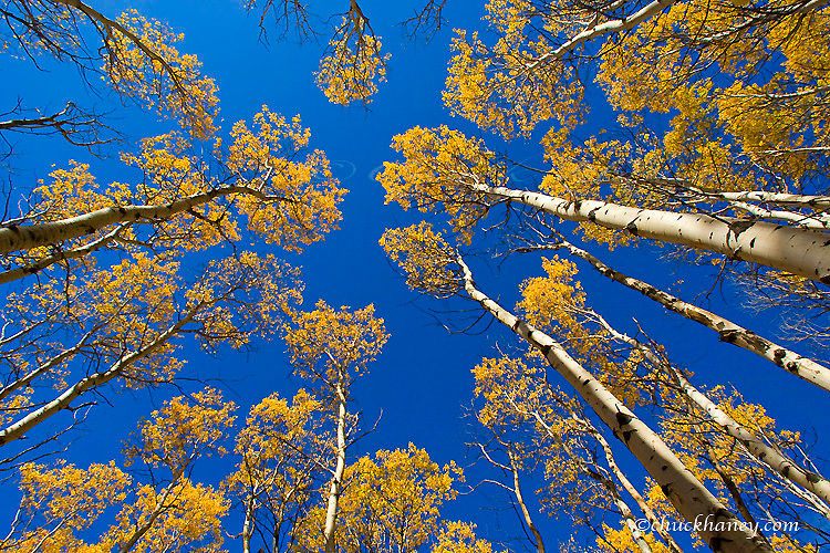 Looking up at an aspen grove in peak fall color in Glacier National Park in Montana