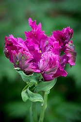 Tulipa 'Negritta Parrot'
